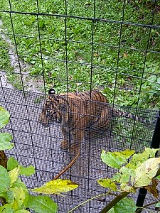Tiger! A danger to the slowest runner ;)